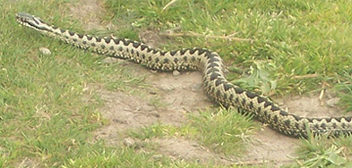 Adder in the grass