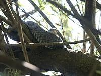 Grass Snake in Tree