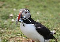 puffin with sand eel