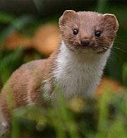 Weasel Vs Stoat